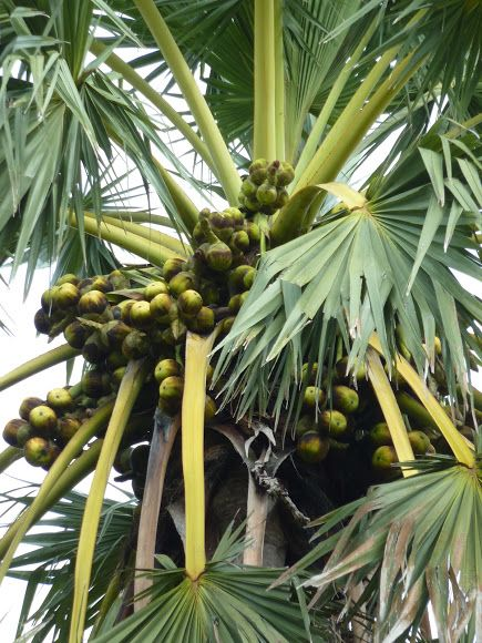 Palmyra Palm Toddy Palm Tree Palms And Plants In 2019 Pinterest Fruit Exotic Fruit And Palm