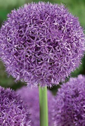 Allium Globemaster 3 Bulbs Allium Flowers Bulb Flowers Purple Garden