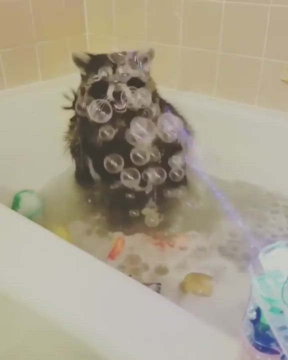 Raccoon playing with the bubbles