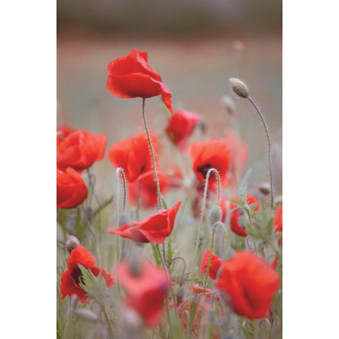 Hashtag Poppyred Sur Instagram Photos Et Videos Instagram Mohnblume Unterwegs