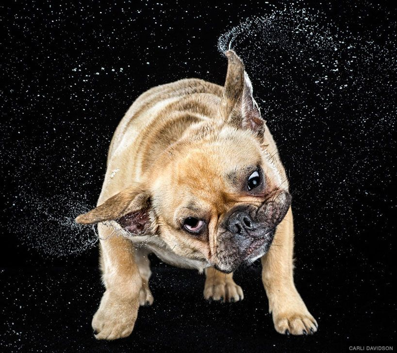 Jowls Flap And Fur Flies For Shake Dog Photos By Carli Davidson