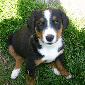 Appenzeller Sennenhund Dogs Dogs Puppies Puppies