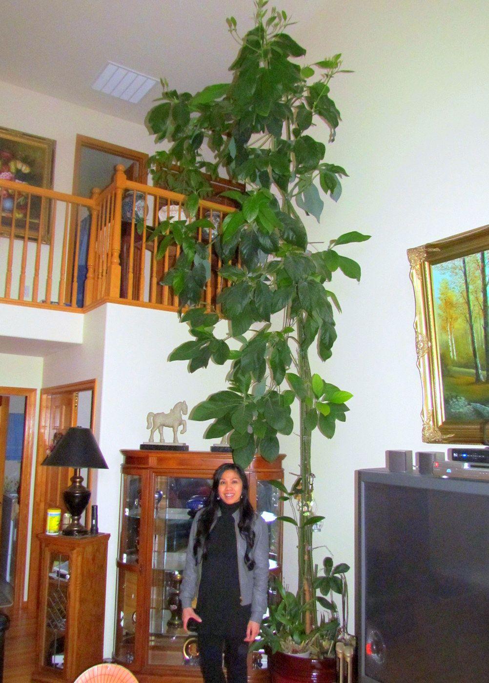 Growing Avocados Indoors Miscellaneous Plants Indoor