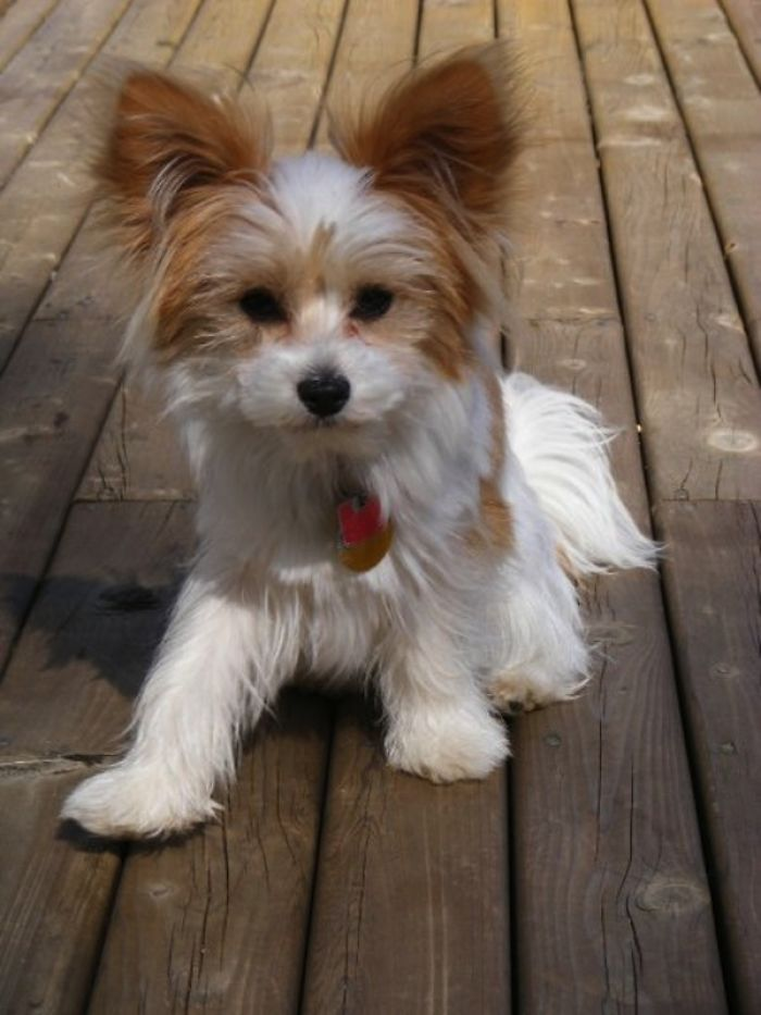 Papillon Maltese Papitese Cute Baby Animals Dog Crossbreeds