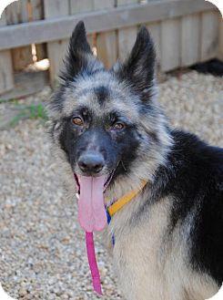 8/1/16 Philadelphia, PA - German Shepherd Dog Mix. Meet Lizzy, a dog for adoption. http://www.adoptapet.com/pet/16283776-philadelphia-pennsylvania-german-shepherd-dog-mix