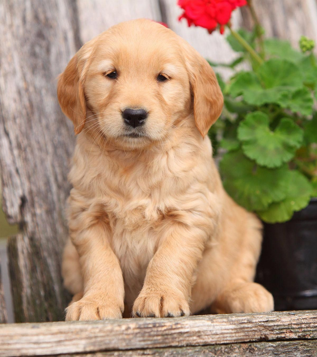 Pictures Of Golden Retrievers Golden Retriever Photo