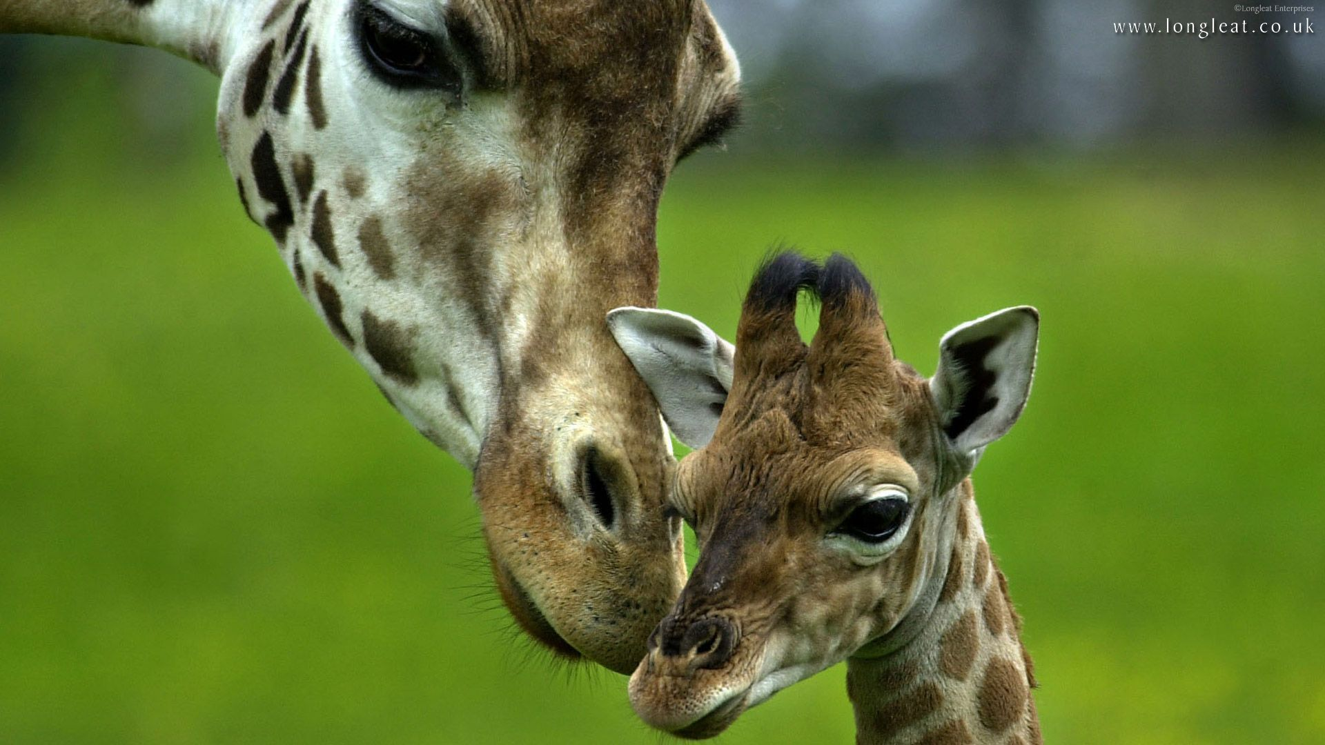 Funny Giraffe Pictures Wallpapers For Desktop