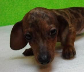 Adopt Bippity On Adoptable Dachshund Dog Puppies Dogs Puppies