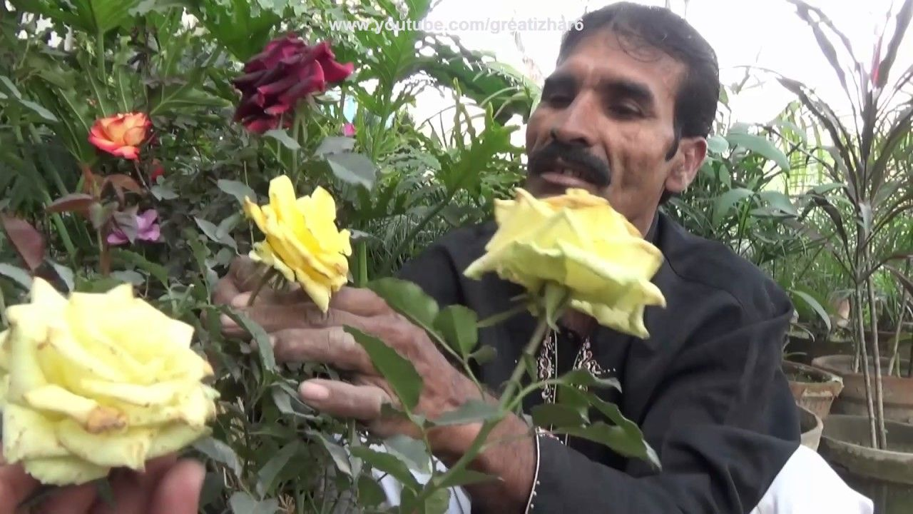 Red Gardenia Rose Grafted Rose Planting Roses In Pots Nursery Visi