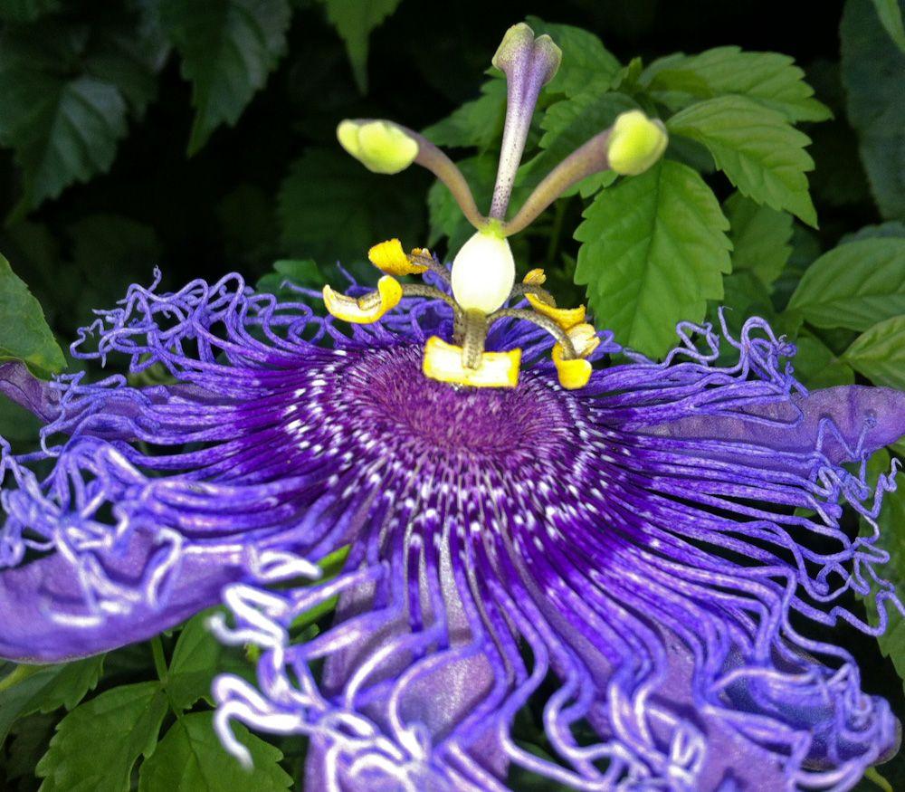 Blue Passion Flower Passiflora Caerulea Seeds Passion Flower Flowering Vines Passiflora