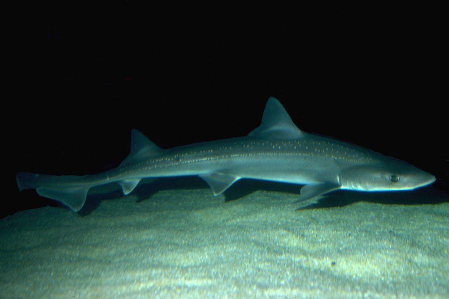 gladde haaien