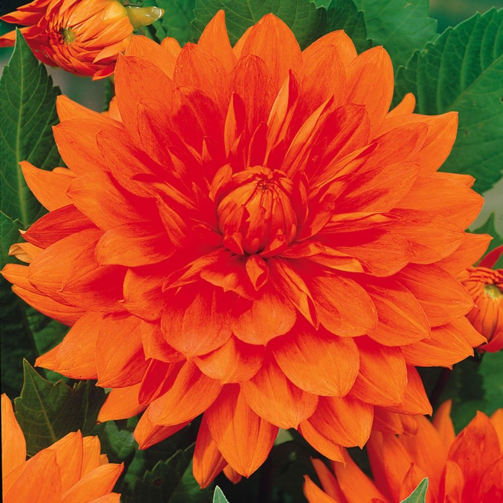 Producing Some Of The Largest Flowers All Dahlia Varieties Mrs Eileen Is A Dinner Plate In Brilliant Shade Vivid Orange