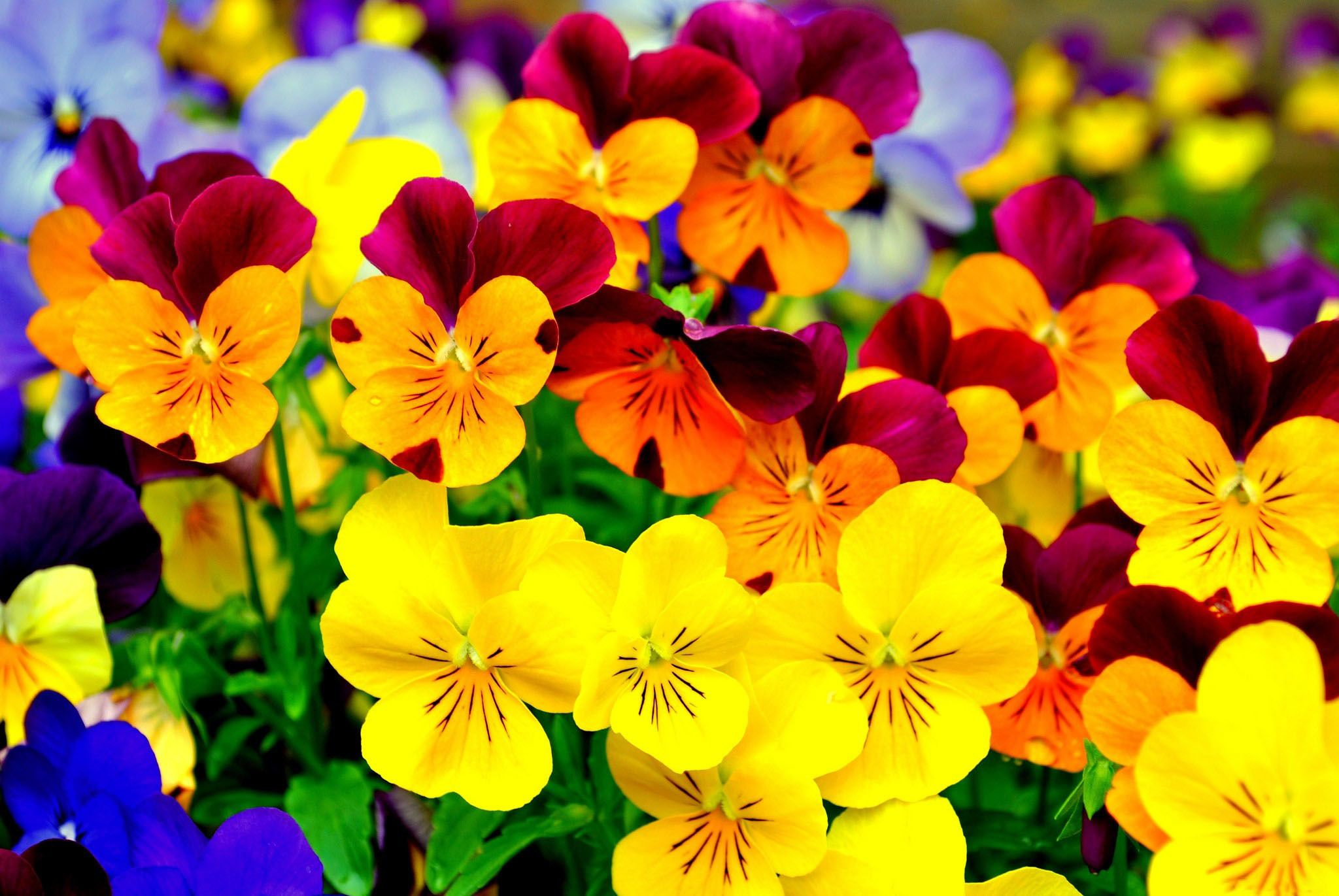 Hd Wallpaper Background Id 433553 Pansies Flowers Flower Wallpaper Pansies