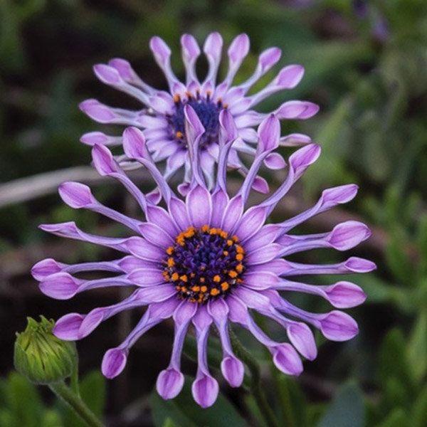 50pcs Garden Osteospermum Whirligig Seeds Annual Gaillardia