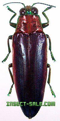 Chrysochroa fulminans nishiyamai