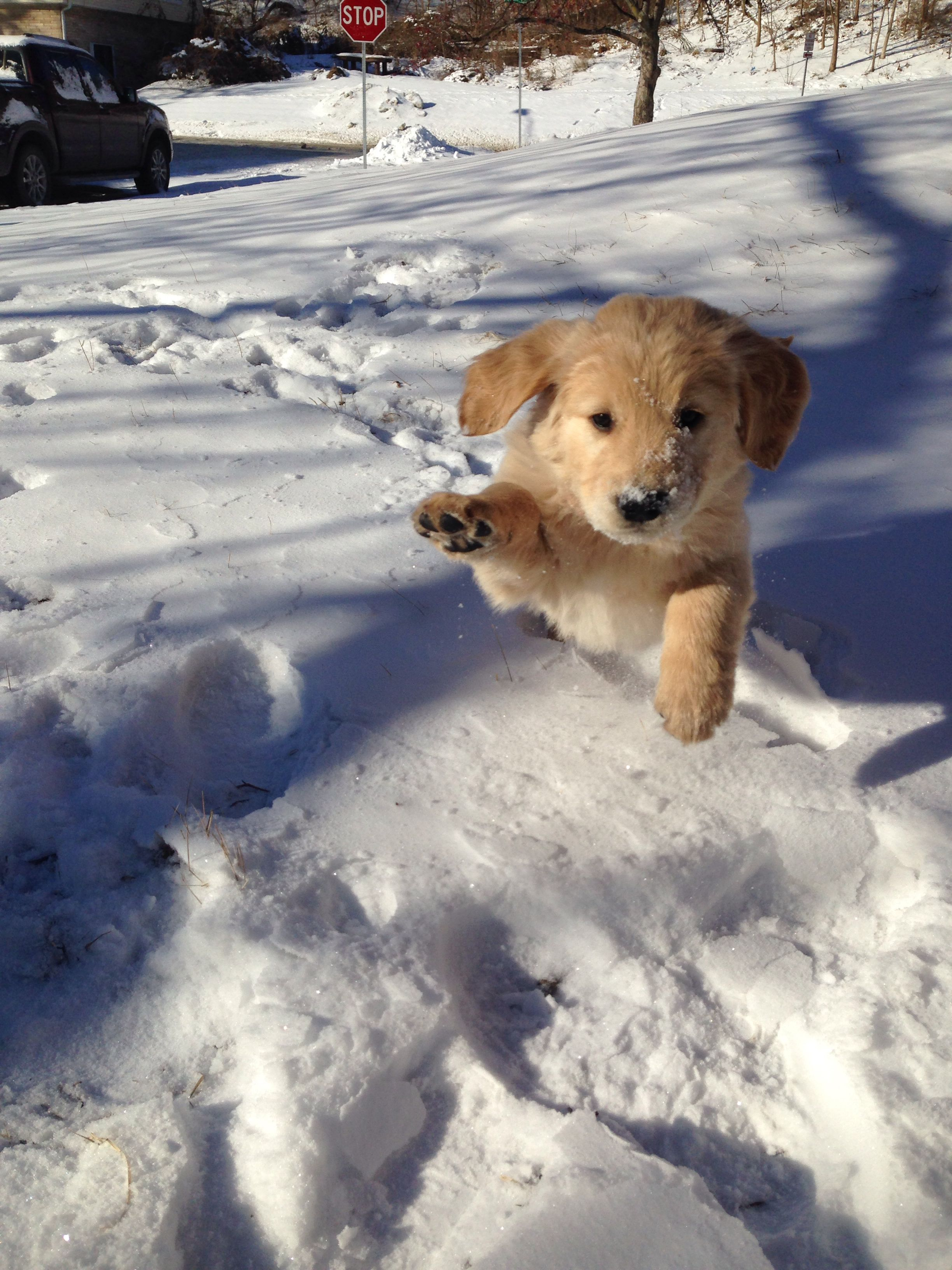 Golden Retriever puppy at 6 weeks