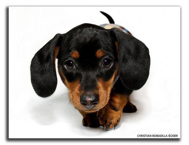 Miniature Dachshund Dachshund Puppies Mini Dachshund Dachshund