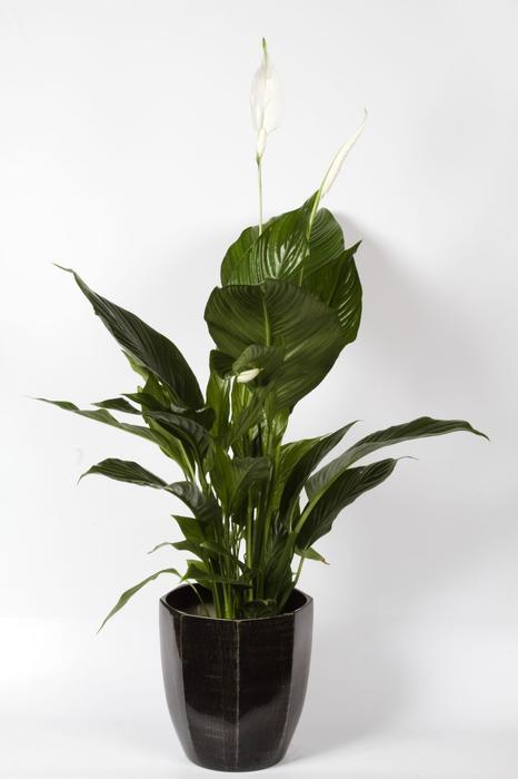 Galeria Zdjec Rosliny Doniczkowe Oczyszczajace Powietrze W Domu Zdjecie Nr 6 Urzadzamy Pl Plant Leaves Plants Leaves
