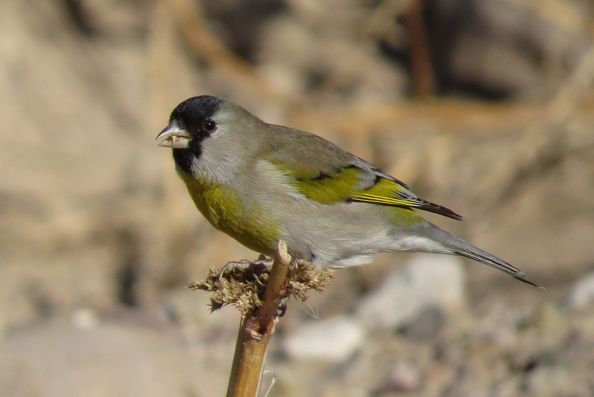 Lawrence's Goldfinch in Tucson, Arizona (Photo by Brian