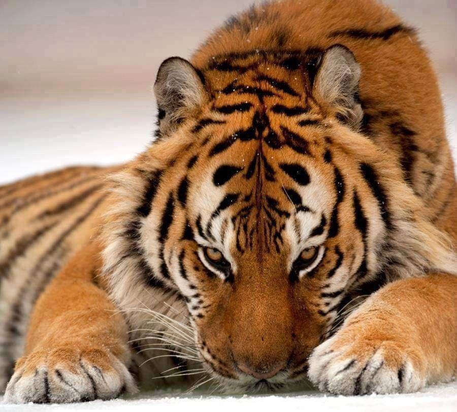 Pin By Sadama Barca10 On Tigers 2019 Tiger Pictures Big Animals Big Cats