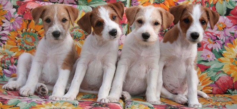 Zuchter Und Welpen Welpen Zuchten Hunde