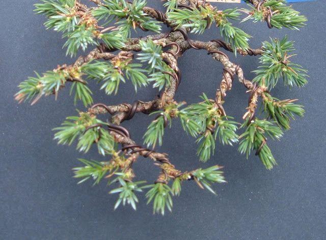 Bonsai! Branch Development on Squamata Juniper
