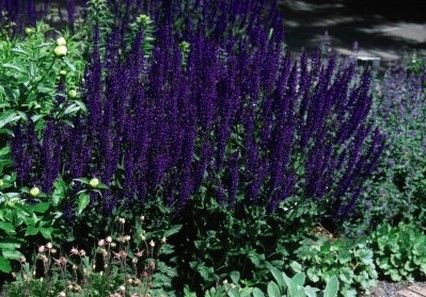 May night salvia flower spikes of indigo blue in early summer moist may night salvia flower spikes of indigo blue in early summer moist well drained soil is ideal although the perennial salvias are tolerant of drought mightylinksfo Gallery