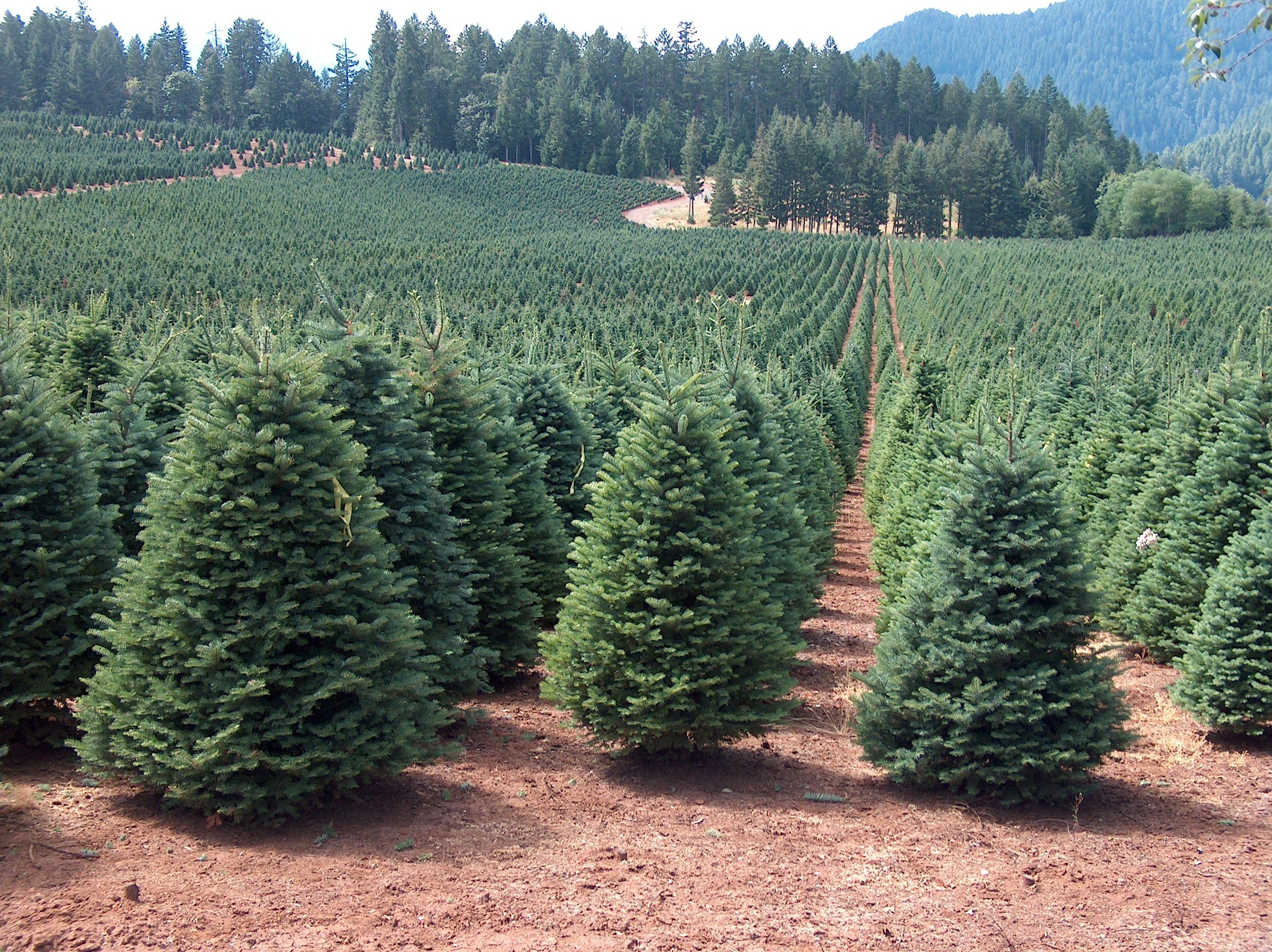 Nice Christmas Tree Farm Pictures Part - 6: Christmas Tree Farm