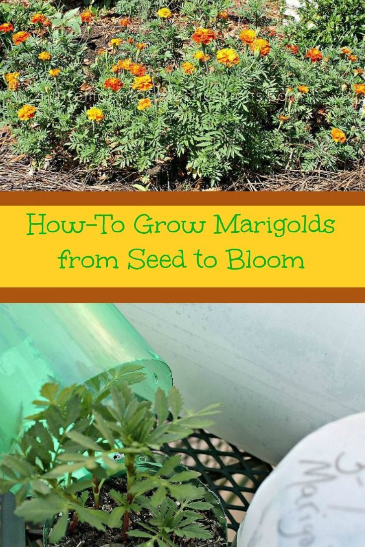 HowTo Grow Marigolds from Seed to Bloom Growing