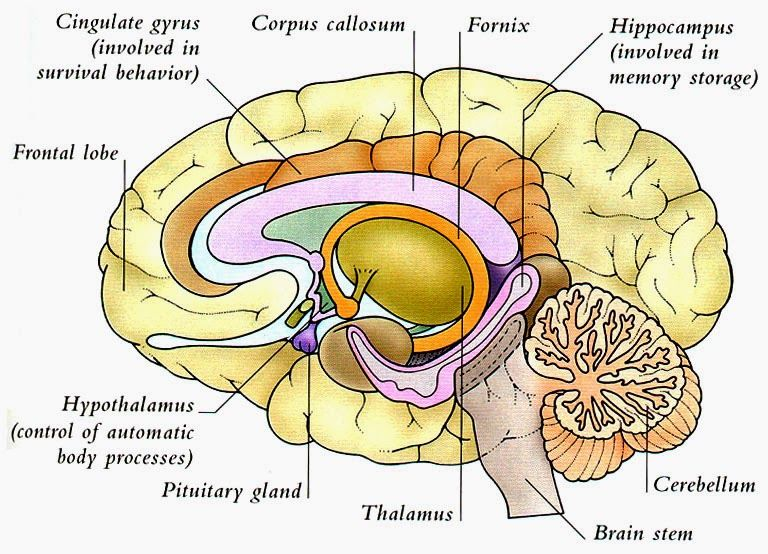 Whole Brain Diagram Blank Block And Schematic Diagrams