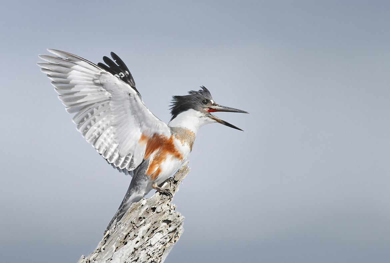 Belted Kingfisher by Salah Baazizi on 500px Kingfisher