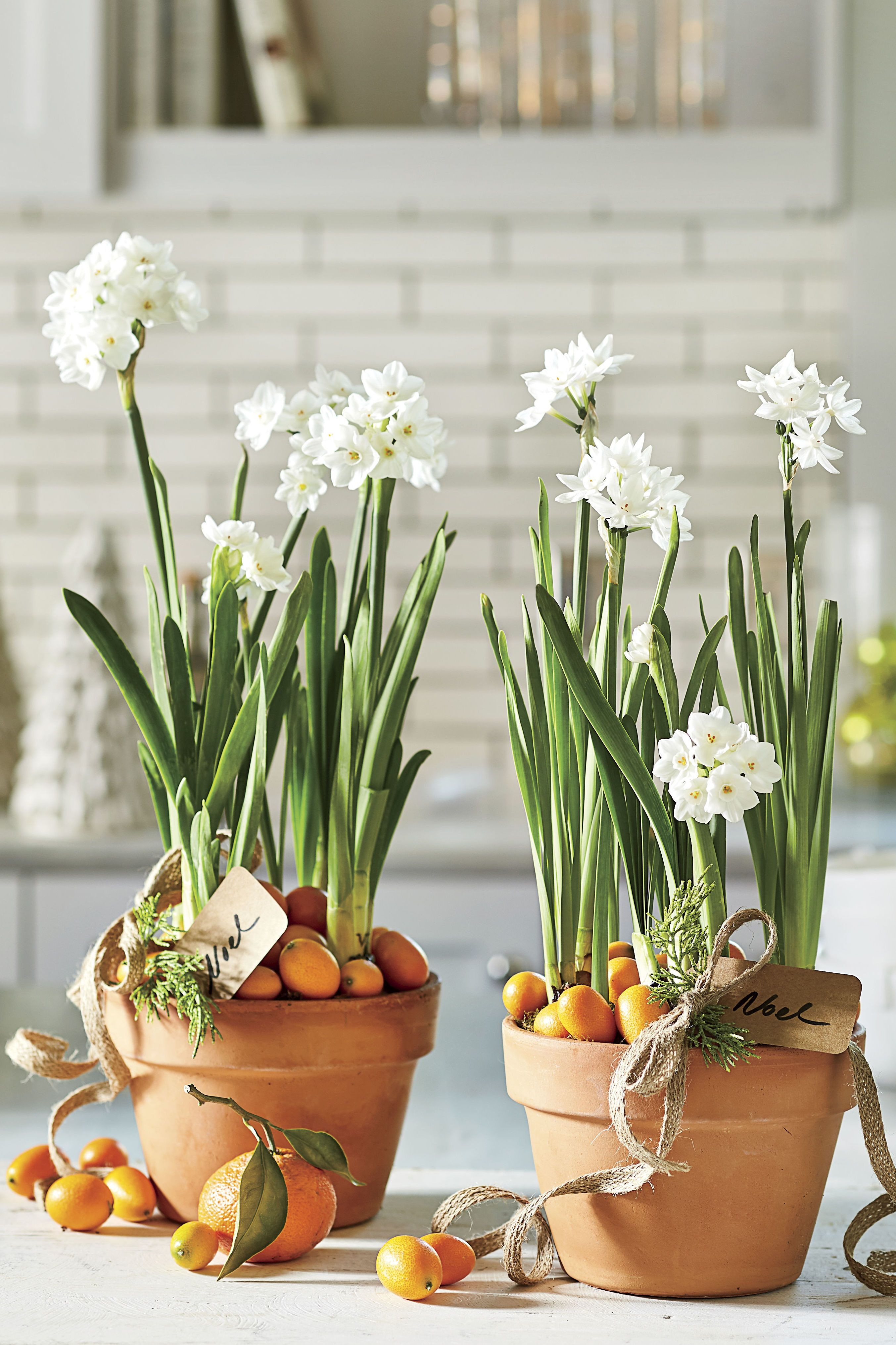 Why Paperwhites Make the Best Holiday Gifts Christmas