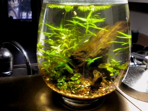 Planted vase cherry shrimp scuds various snails for Big betta fish tank