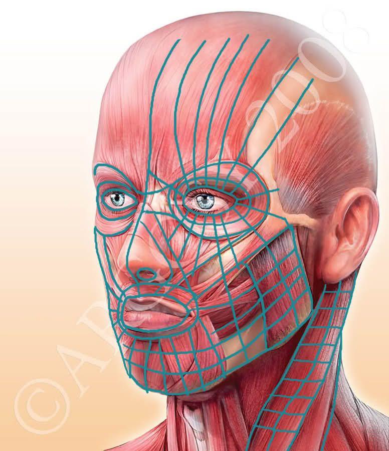 мышцы лица фото картинки очистите, нарежьте, сложите