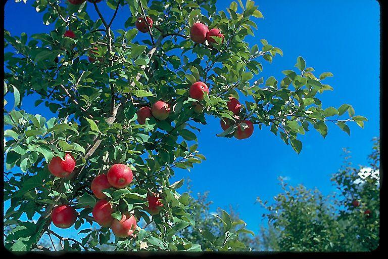 Honeycrisp Apple (Malus 'Honeycrisp') at Dundee Nursery