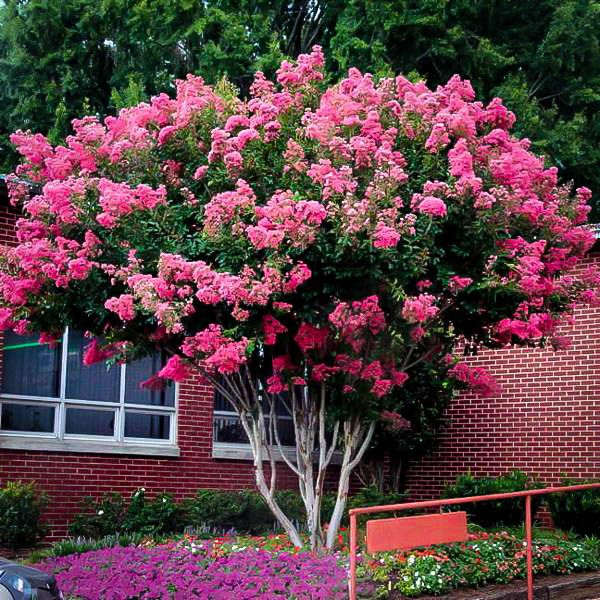 Pruning A Crepe Myrtle The Correct Way Myrtle Tree Crape Myrtle Planting Flowers