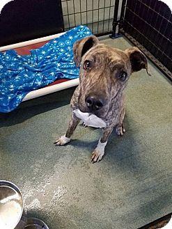 Mcclure Oh Boxer Greyhound Mix Meet Jake A Dog For Adoption