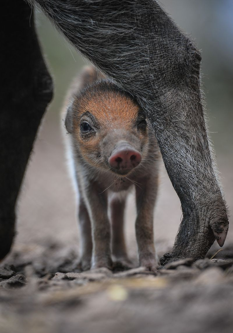 Rare Warty Piglet Born At Chester Zoo Chester Zoo Baby Animals Animal Photo