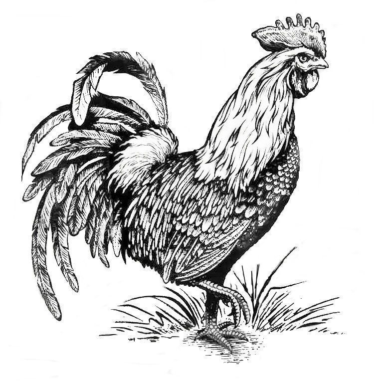 Rooster Coloring Page Adult Coloring Pages Pinterest