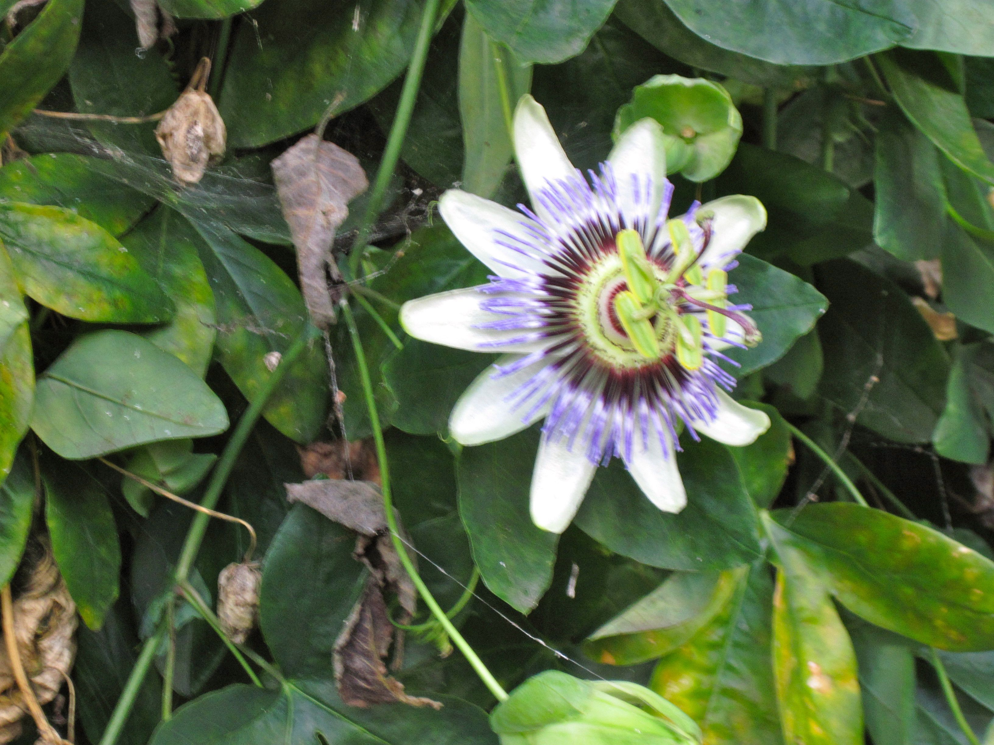 Passionflower Passion Flower Nature Projects All Natural