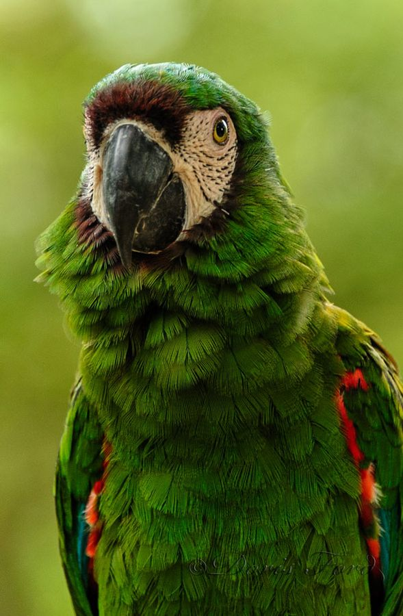 Beautiful green parrot seen in a garden in Ecuador.  Methinks it is either a Severe or a Military Macaw.