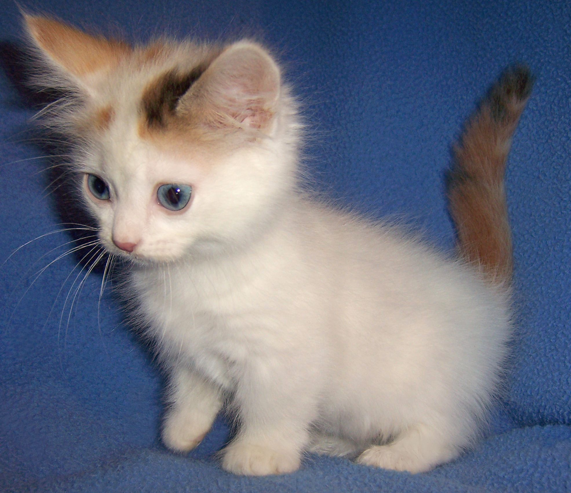Munchkin Kittens Available | At Mountaineer Munchkins we ...