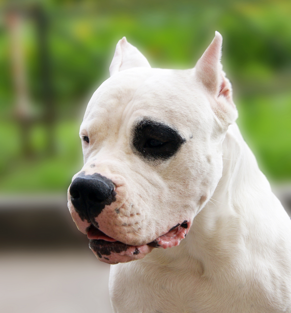 Pin By Sidney Riley On Dogo Argentino Dog Breeds Dog Argentino Animal Noses