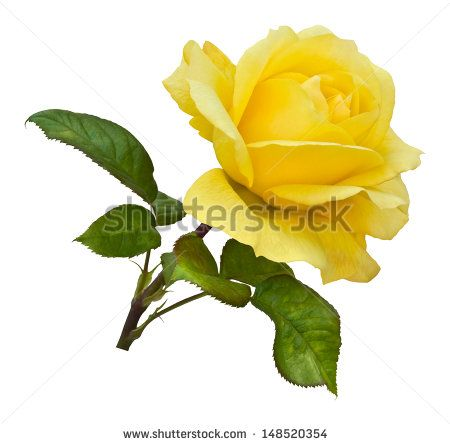 A Single Golden Yellow Rose On A Natural Stem With Green Rose Leaves Isolated On White With Clipping Path Yellow Roses Rose Leaves Rose