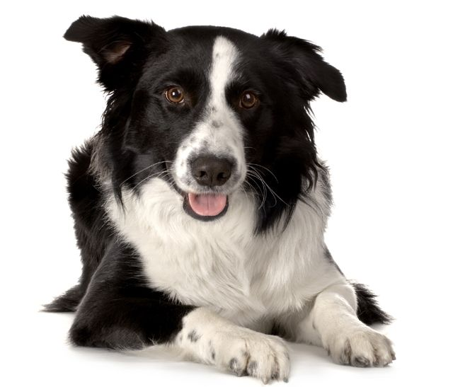 Border Collie Photos Border Collie Dog Face Photo Border Collie