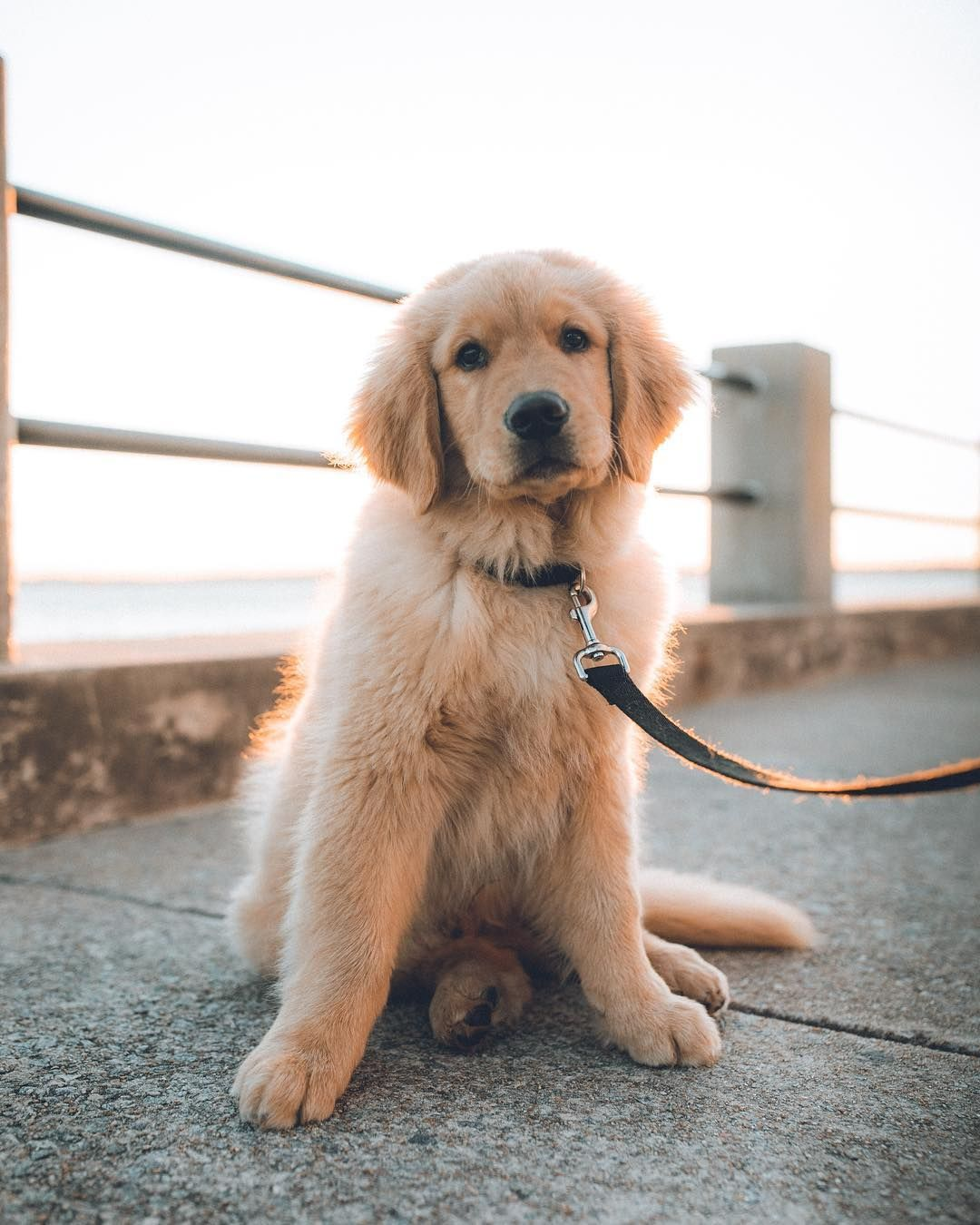 Charlie Golden Retriever On Instagram Monday Face Golden