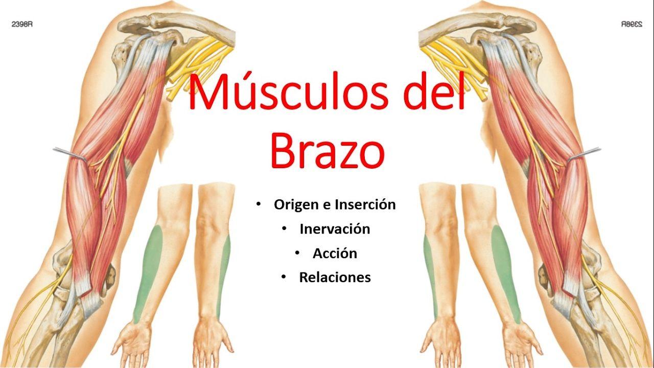 Anatomía - Músculos del Brazo (Origen, Inserción, Inervación, Acción ...