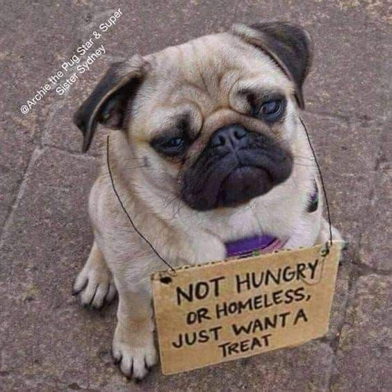 Best Funny Pug Pictures images #cutepugpuppies