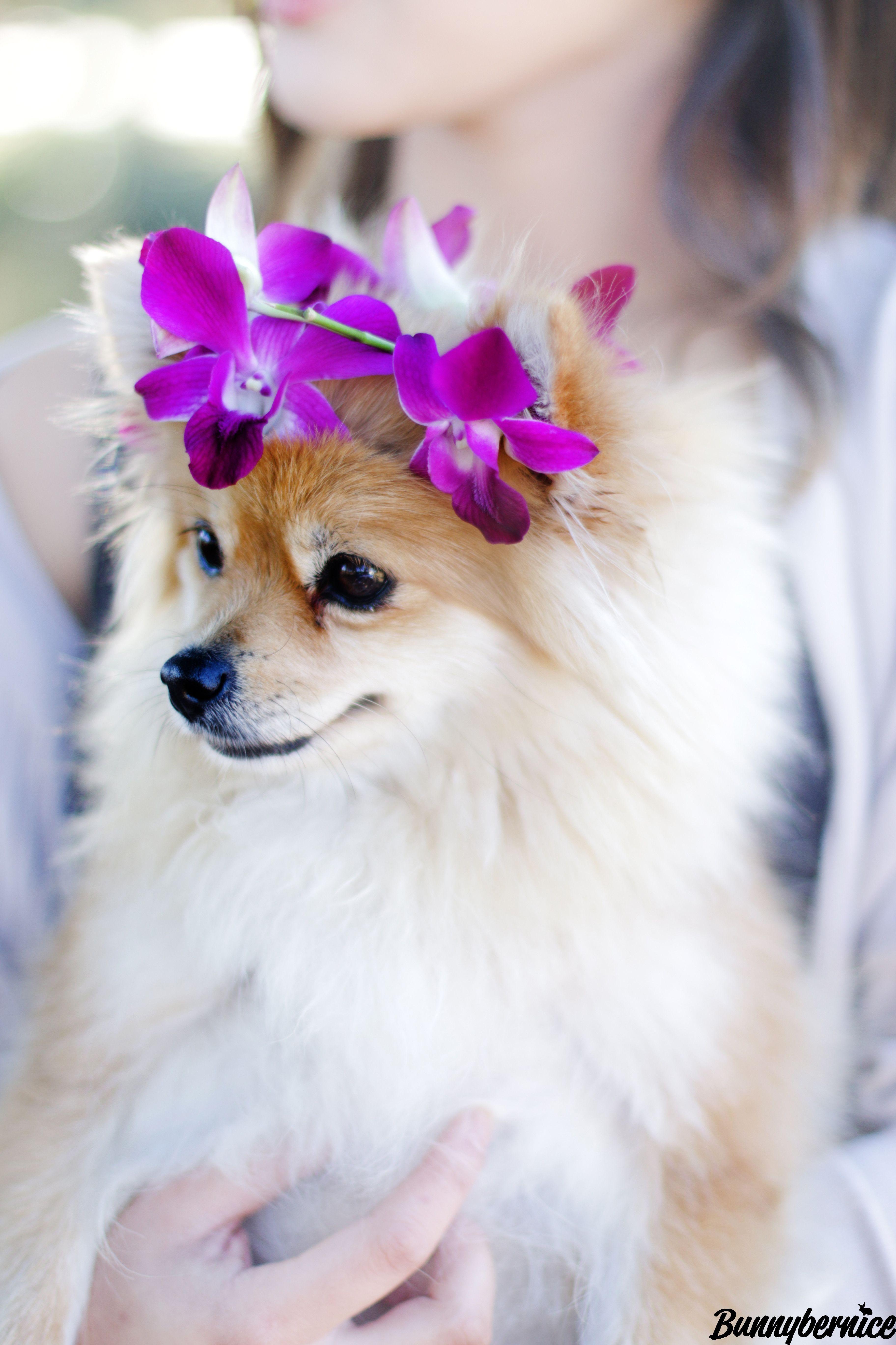 Took my Pomeranian flower child to the dog park | fur babies ...