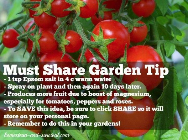Must Share Garden Tip For Tomatoes Peppers And Roses Combine 1 Tsp Epsom Salt With 4 Cups